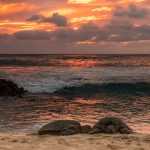 two sea turtles on beach in oahu at sunset